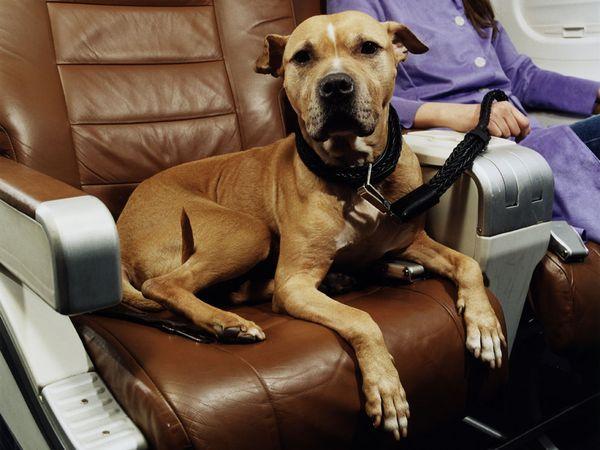 pies.w.samolocie