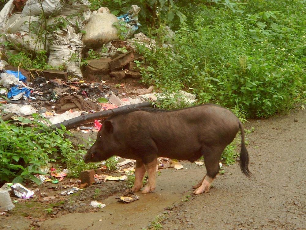 Na tutejszych ulicach poza ludźmi, psami, krowami i kozami spotyka się też małpy i swinki.