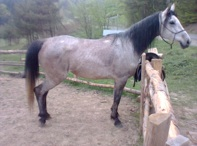 Na zdjęciu koń Atena, po wspólnych zawodach w Dzikowcu.